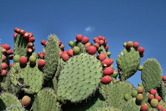 'Nopal' - Prickly Pear Cactus